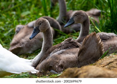 A pair of Cygnet Swans and family