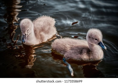 A pair of cygnets (baby swans) swimming in water. They are very cute. You can see the detail in their light brown fur and the water.