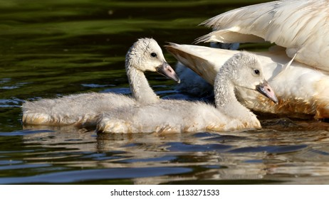 A pair of cygnets following mom.