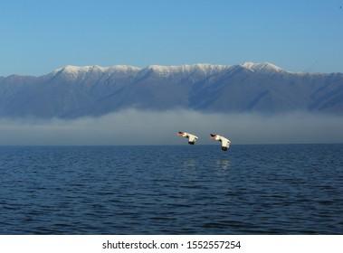 Pair of Dalmatian pelicans in flight over the lake Kerkini