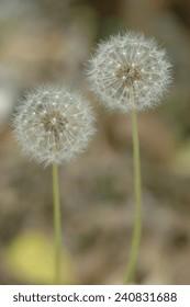 Pair of dandelion seed heads