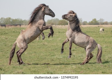 Pair of domestic stallions seen fighting in a paddock located in a wildlife conservation area. These Konik horses originated from Poland, now living free in Britain.