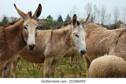 pair of donkeys in the flock