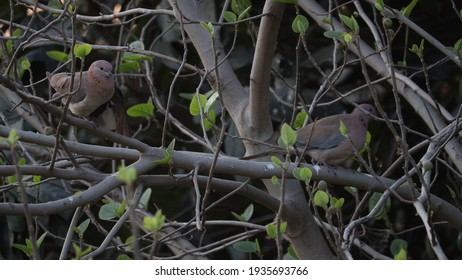 A pair of doves perched in a clump of trees in the rainy season.
