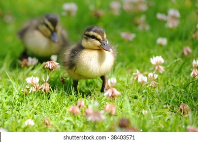 Pair of ducklings waddling through grass