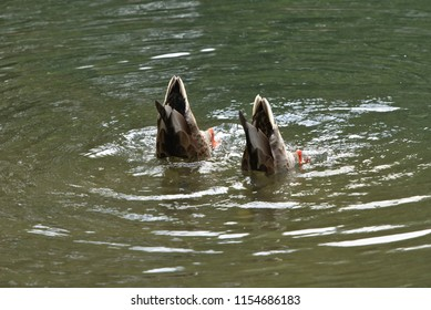 A pair of ducks diving for food in a small pond with only tails above water and some waves coming from them
