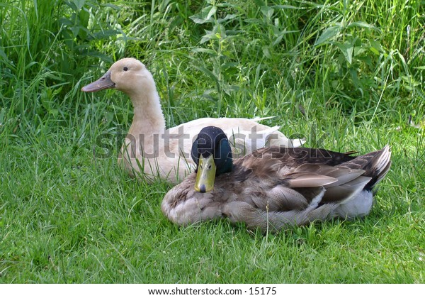 A pair of ducks resting in the grass