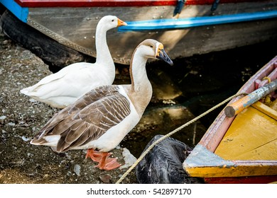 A pair of ducks sitting at the lake side between two boats