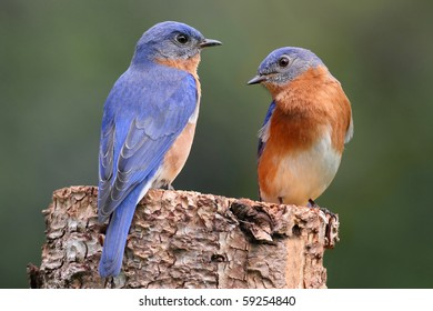 Pair of Eastern Bluebird (Sialia sialis) on a log with nesting material
