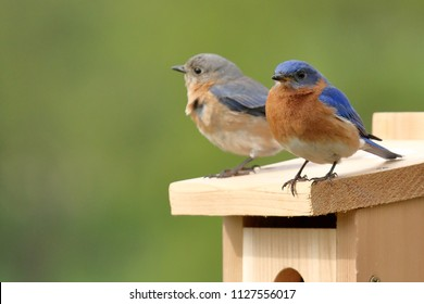 A pair of Eastern Bluebirds inspects a newly installed nest box. They spent quite some time looking and going in and out of the box before choosing it as their new home.