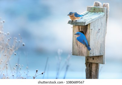 A pair of Eastern bluebirds on their home in an early morning in Springtime.