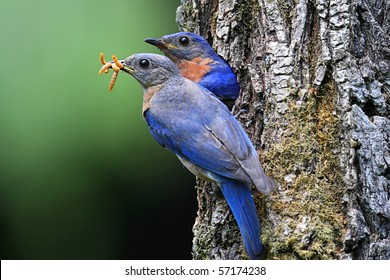Pair of Eastern Bluebirds (Sialia sialis) bringing food to a nest
