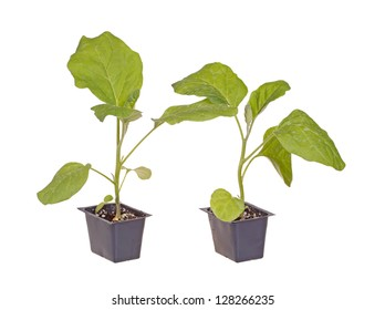 A pair of eggplant (Solanum melongena) seedlings ready to be transplanted into a home garden isolated against a white background
