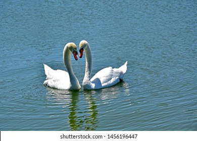 A pair of elegant white swans on the lake in Lakeland Florida.