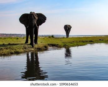 A pair of elephants approach the river to drink, Zambezi National Park, Zimbabwe