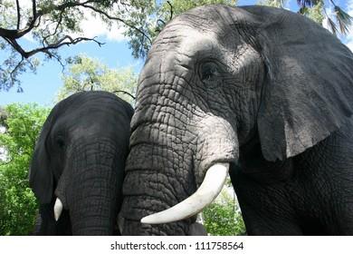 A pair of elephants gaze into the camera, Okavango delta, Botswana