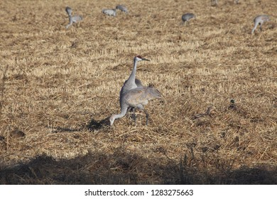 A pair of endangered sandhill cranes, finding a meal in an open field in Albuquerque, New Mexico
