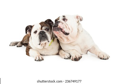 A pair of English Bulldogs laying close to each other