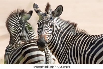 A Pair of (Equus quagga chapmani) Chapmans Zebras on the Plains in South Luangwa National Park, Zambia