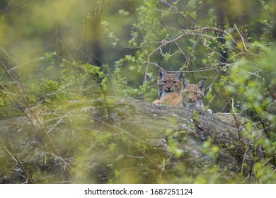 Pair of Eurasian lynx,  male and female lying together on  the rock  in spring forest, staring at camera. Authentic behaviour, protected animal. Europe, mountains biotope.