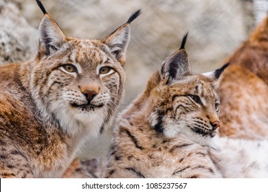 pair of Eurasian lynx (Lynx lynx) resting together