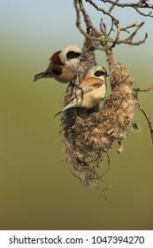 Pair of eurasian penduline on the nest