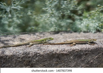Pair of European green lizards sunning in Sicily, Lacerta viridis, is a large lizard distributed across European midlatitudes. It is often seen sunning on rocks or lawns, or sheltering amongst bushes.
