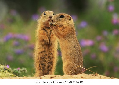 Pair European ground squirrel