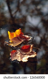 A pair of fall leaves floating on a calm lake