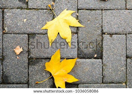 a pair of fallen yellow maple tree leaves on a pavement