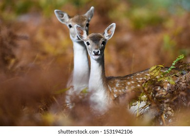 A pair of Fallow Deer does look through the undergrowth in Bradgate Park, Leicestershire.