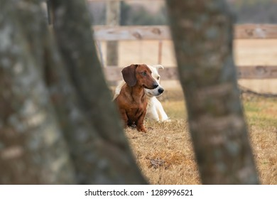 Pair of farm/ranch dogs (dachshund and lab) sitting in the pasture