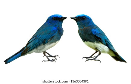 Pair of fascinated lovely blue and white birds isolated on white with details sharp feathers profile from head face wings belly tail legs and toes, Zappey's flycatcher (Cyanoptila cumatilis)
