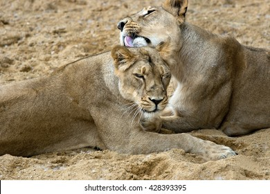 pair of female african lions