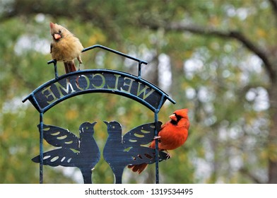 A pair of female cardinal bird with fracture left leg and male cardinal bird perching on the bird feeder stand in one morning enjoy watching on the blurry garden background, Winter in Ga USA.