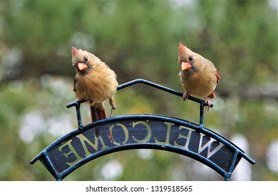 A pair of female cardinal bird that one of them has fracture left leg perching on the bird feeder stand in one morning on the blurry garden background, Winter in Ga USA.