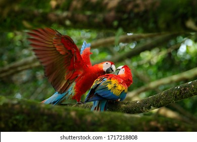 Pair fight of big parrots Scarlet Macaw, Ara macao, in forest habitat. Bird love. Two red birds sitting on branch, Costa Rica. Wildlife love scene from tropical forest nature.