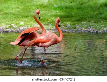 Pair of flamingos stand in a pond. American flamingo. Landscape for poster. Horizontal