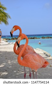 Pair of flamingos taking a shower in Aruba