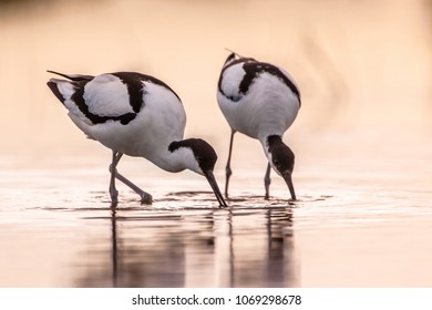 Pair of foraging pied avocet (Recurvirostra avosetta) wading in water in early morning light and looking for food during sunrise