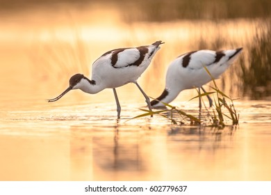 Pair of foraging pied avocet (Recurvirostra avosetta) wading in water in orange morning light and looking for food during sunrise