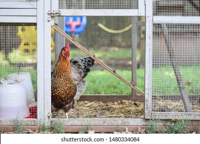 A pair of free range, cage free hens in a chicken coop in a suburban backyard. The one looking out is a golden laced wyandotte. In the background is a child's swing set.