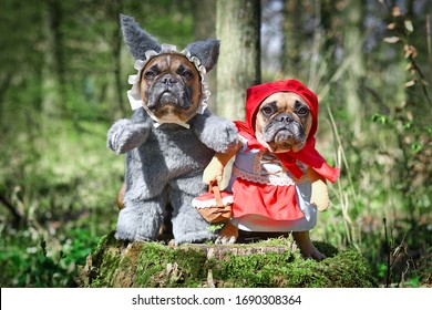 Pair of French Bulldog dogs dressed up as fairytale characters Little Red Riding Hood and Big Bad Wolf with full body costumes with fake arms sitting in forest