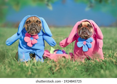 Pair of French Bulldog dogs wearing funny Easter bunny costumes with easter basket on meadow