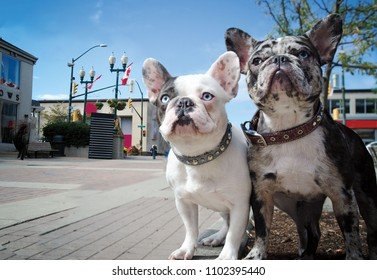 A pair of French Bulldogs