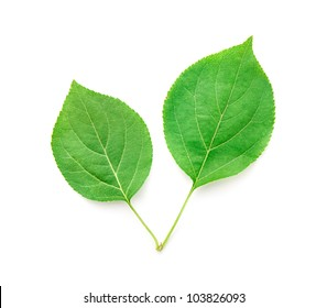 Pair of Fresh Natural Green Leaves on white background