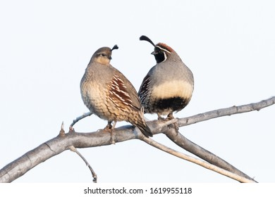 Pair of Gambel's Quail, looking at each other.