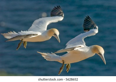Pair of gannets flying in the air. Helgoland, Germany.