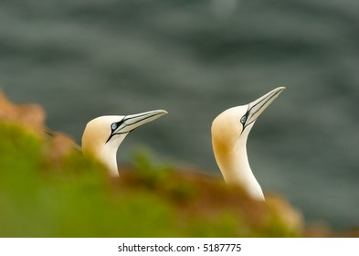 Pair of Gannets in Helgoland Germany