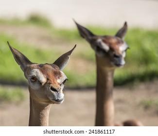 Pair of Gazelles